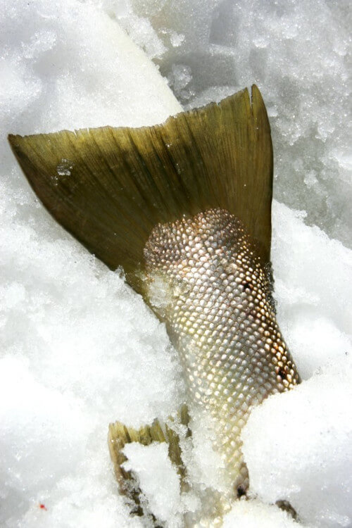 sea trout article